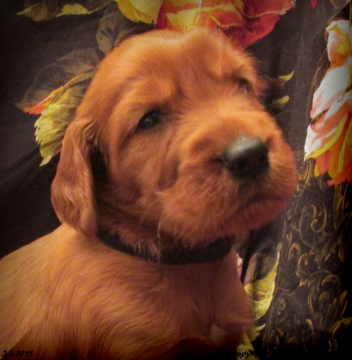 Irish Setter Puppy For Sale