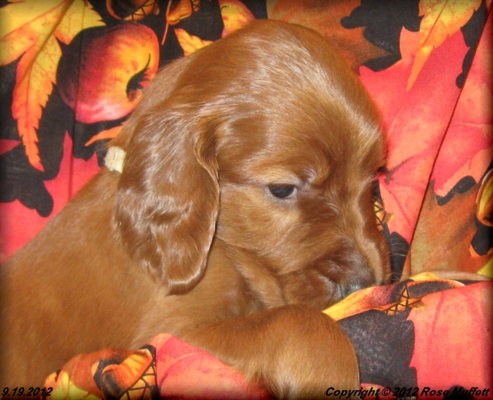 Ginger's Puppies