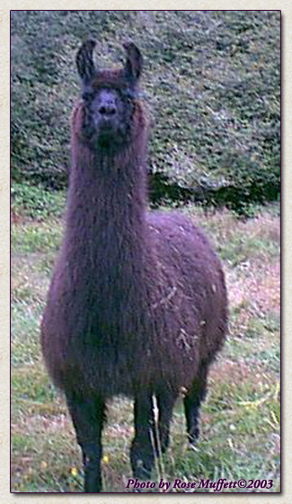 Click to view larger image of Dolly Llama