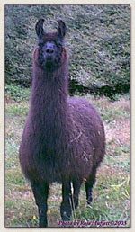Click to view larger image of Dolly Llama (93069 bytes)