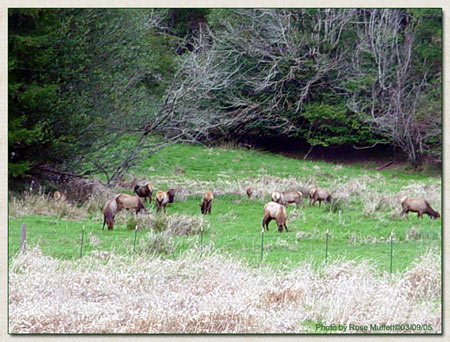Roosevelt Elk March 9, 2005