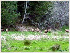 Roosevelt Elk at Muffett Farms
