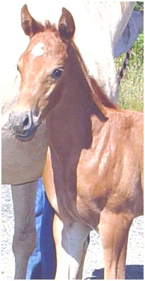 Litle Brown 2008 chestnut filly