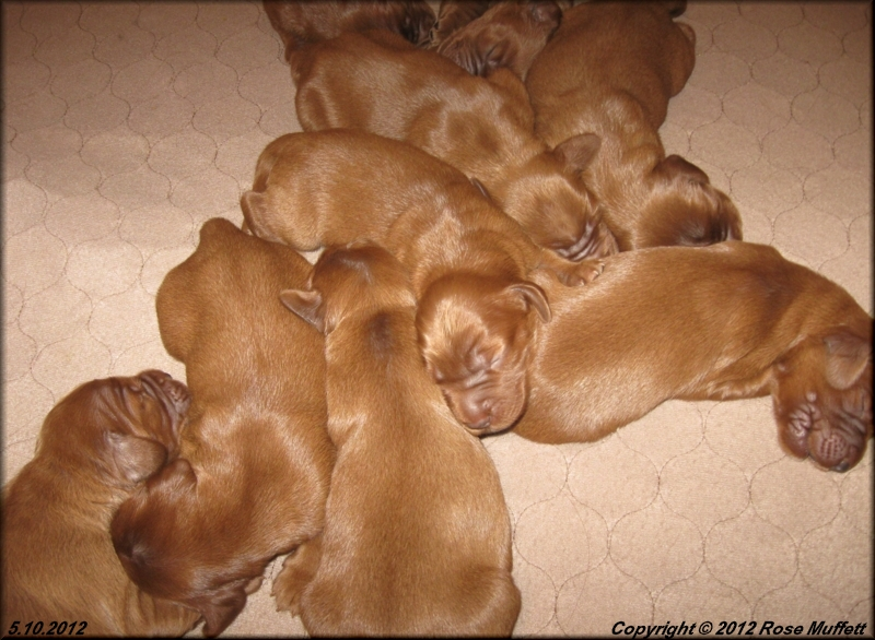 AKC Irish Setter Puppies For Sale