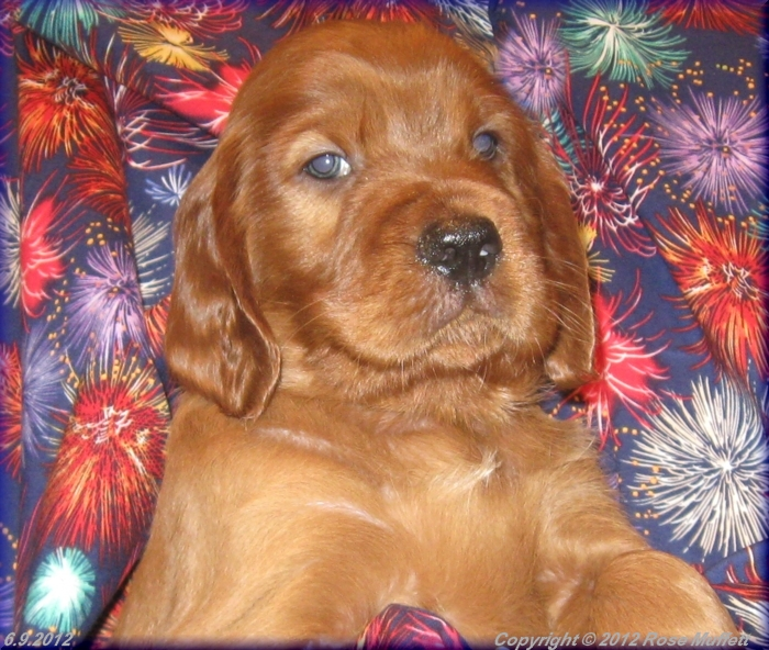 AKC Irish Setter Puppy For Sale